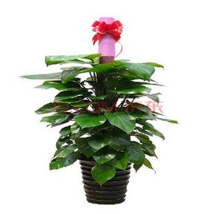 哲尼柯鲜花速递 绿植绿色植物 商务礼品家居养生 款式3